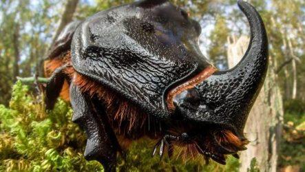 Жук носорог. Описание, особенности, виды и среда обитания жука носорога