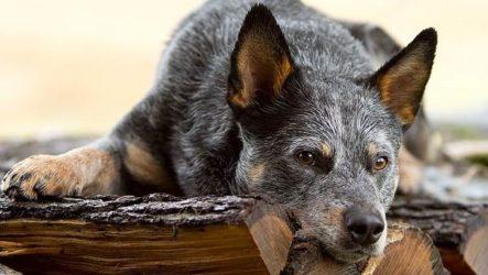 Австралийский хилер собака. Описание, особенности, цена и уход за породой австралийский хилер