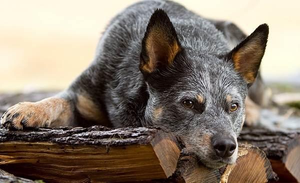 Австралийский-хилер-собака-Описание-особенности-цена-и-уход-за-породой-австралийский-хилер-1