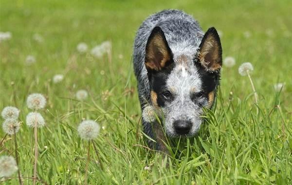 Австралийский-хилер-собака-Описание-особенности-цена-и-уход-за-породой-австралийский-хилер-10