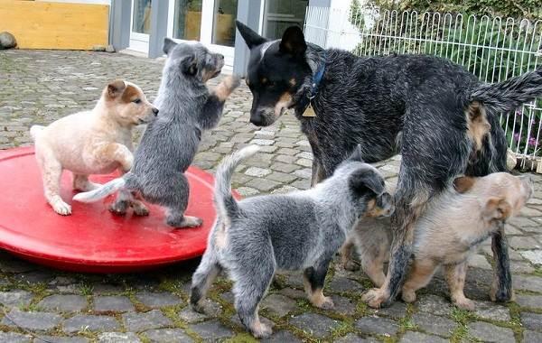 Австралийский-хилер-собака-Описание-особенности-цена-и-уход-за-породой-австралийский-хилер-11