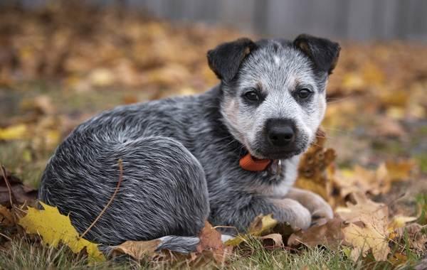 Австралийский-хилер-собака-Описание-особенности-цена-и-уход-за-породой-австралийский-хилер-12