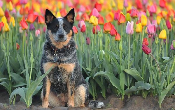 Австралийский-хилер-собака-Описание-особенности-цена-и-уход-за-породой-австралийский-хилер-14