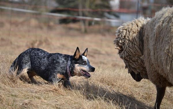 Австралийский-хилер-собака-Описание-особенности-цена-и-уход-за-породой-австралийский-хилер-16