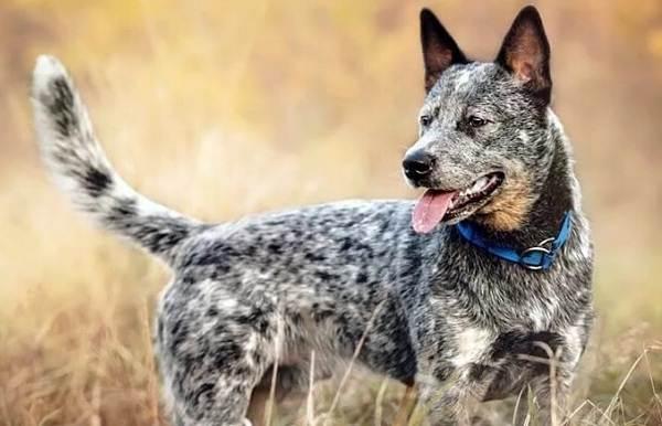 Австралийский-хилер-собака-Описание-особенности-цена-и-уход-за-породой-австралийский-хилер-2