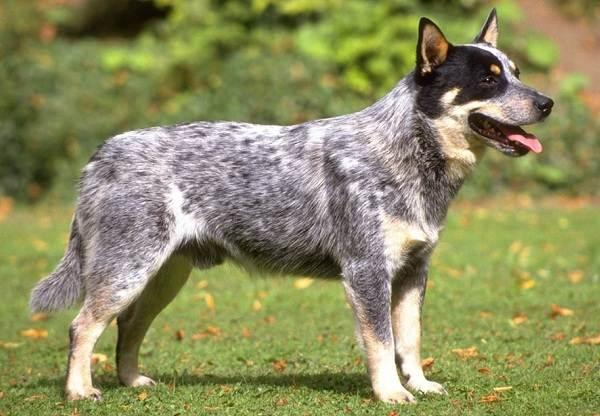 Австралийский-хилер-собака-Описание-особенности-цена-и-уход-за-породой-австралийский-хилер-4