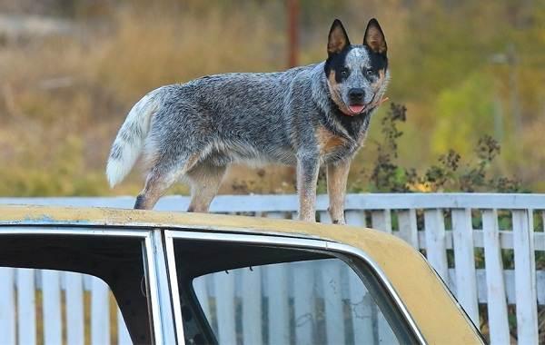 Австралийский-хилер-собака-Описание-особенности-цена-и-уход-за-породой-австралийский-хилер-5