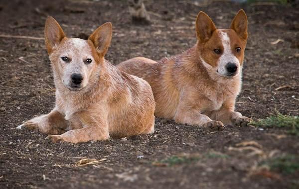 Австралийский-хилер-собака-Описание-особенности-цена-и-уход-за-породой-австралийский-хилер-6