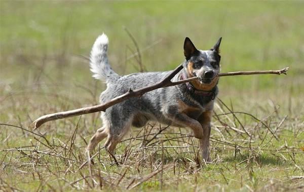 Австралийский-хилер-собака-Описание-особенности-цена-и-уход-за-породой-австралийский-хилер-7