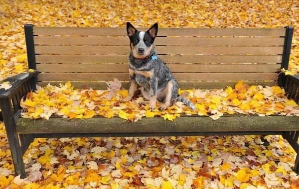 Австралийский-хилер-собака-Описание-особенности-цена-и-уход-за-породой-австралийский-хилер-9