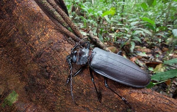 Жук-дровосек-Описание-особенности-виды-и-среда-обитания-жука-дровосека-15