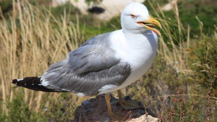 Чайка птица. Описание, особенности, виды и среда обитания птицы чайки