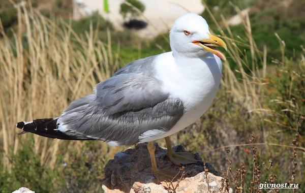Чайка-птица-Описание-особенности-виды-и-среда-обитания-птицы-чайки-1