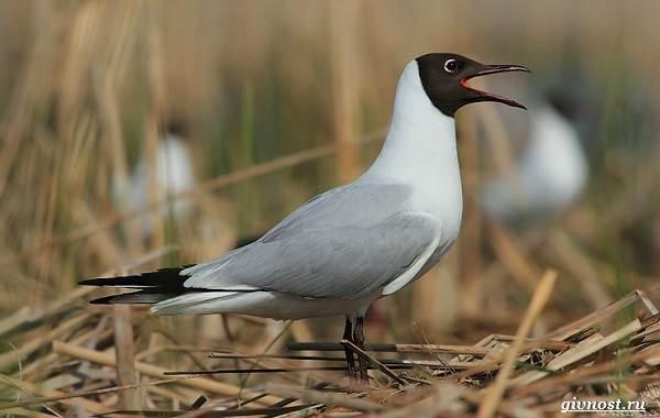 Чайка-птица-Описание-особенности-виды-и-среда-обитания-птицы-чайки-10
