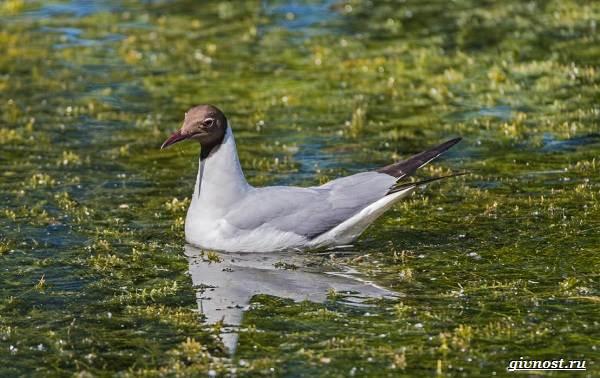 Чайка-птица-Описание-особенности-виды-и-среда-обитания-птицы-чайки-11