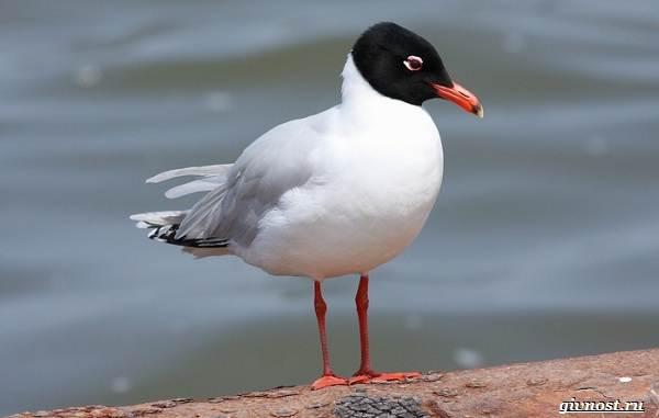 Чайка-птица-Описание-особенности-виды-и-среда-обитания-птицы-чайки-12