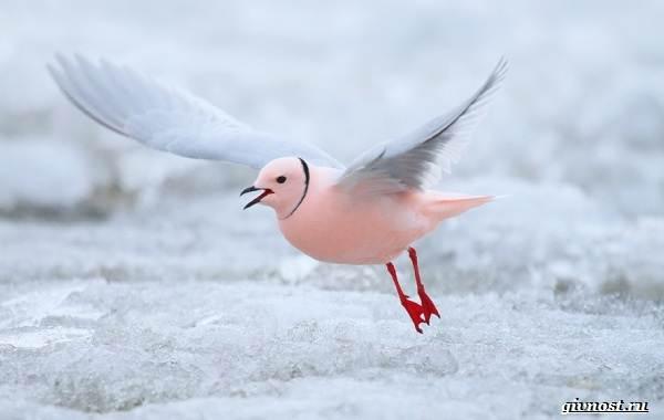 Чайка-птица-Описание-особенности-виды-и-среда-обитания-птицы-чайки-14