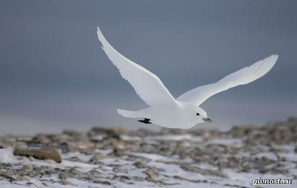 Чайка-птица-Описание-особенности-виды-и-среда-обитания-птицы-чайки-15
