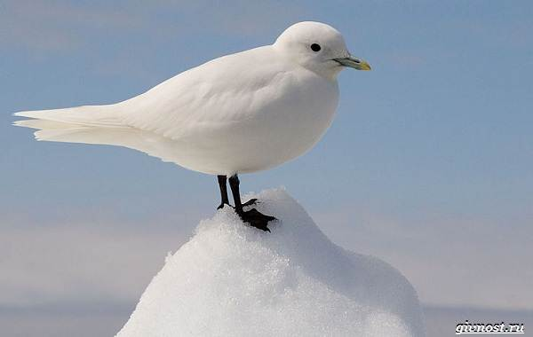 Чайка-птица-Описание-особенности-виды-и-среда-обитания-птицы-чайки-16