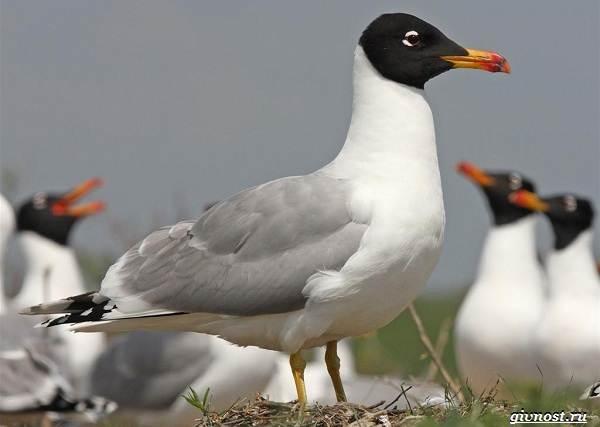 Чайка-птица-Описание-особенности-виды-и-среда-обитания-птицы-чайки-17