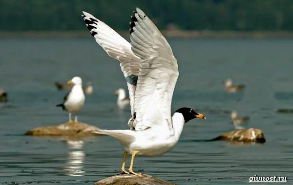 Чайка-птица-Описание-особенности-виды-и-среда-обитания-птицы-чайки-18