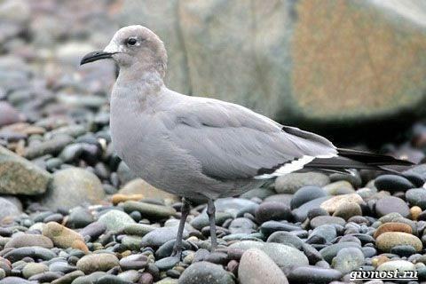 Чайка-птица-Описание-особенности-виды-и-среда-обитания-птицы-чайки-19