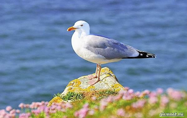 Чайка-птица-Описание-особенности-виды-и-среда-обитания-птицы-чайки-20