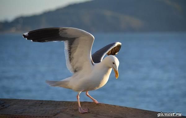 Чайка-птица-Описание-особенности-виды-и-среда-обитания-птицы-чайки-21