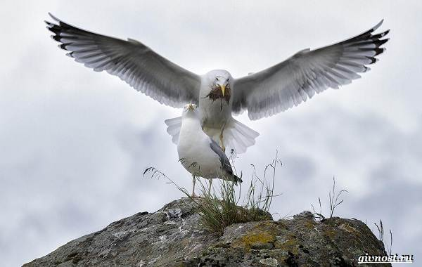 Чайка-птица-Описание-особенности-виды-и-среда-обитания-птицы-чайки-22