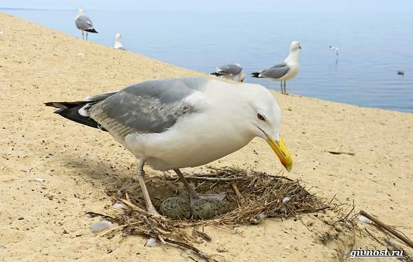 Чайка-птица-Описание-особенности-виды-и-среда-обитания-птицы-чайки-25