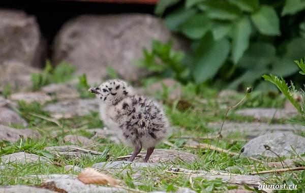 Чайка-птица-Описание-особенности-виды-и-среда-обитания-птицы-чайки-26