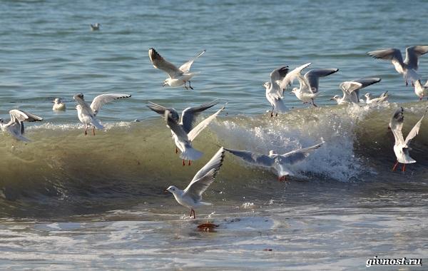 Чайка-птица-Описание-особенности-виды-и-среда-обитания-птицы-чайки-27