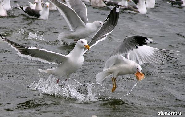 Чайка-птица-Описание-особенности-виды-и-среда-обитания-птицы-чайки-28