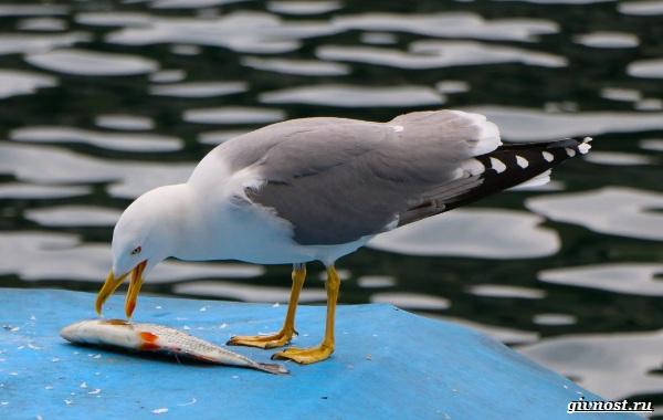 Чайка-птица-Описание-особенности-виды-и-среда-обитания-птицы-чайки-29