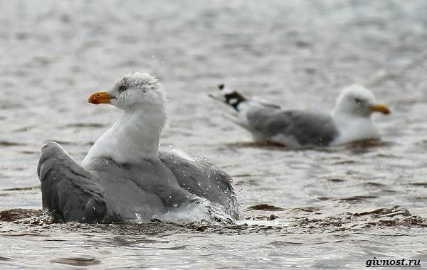 Чайка-птица-Описание-особенности-виды-и-среда-обитания-птицы-чайки-3