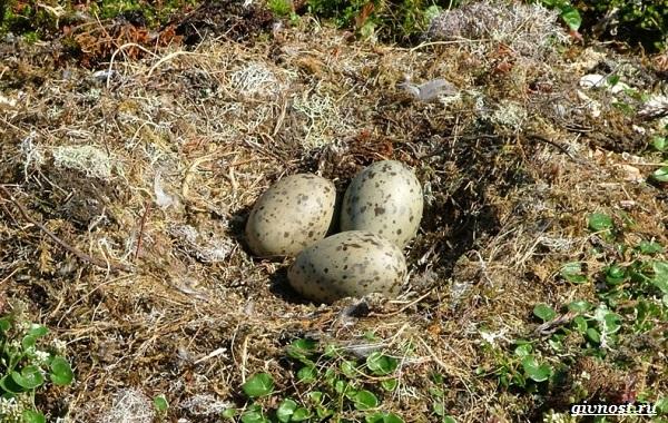 Чайка-птица-Описание-особенности-виды-и-среда-обитания-птицы-чайки-30