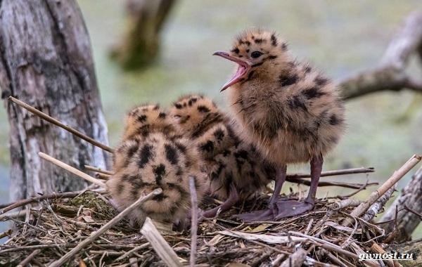 Чайка-птица-Описание-особенности-виды-и-среда-обитания-птицы-чайки-31
