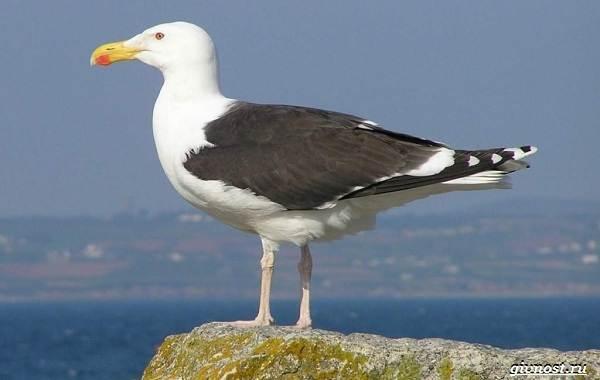 Чайка-птица-Описание-особенности-виды-и-среда-обитания-птицы-чайки-6