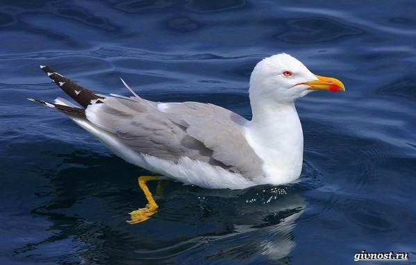 Чайка-птица-Описание-особенности-виды-и-среда-обитания-птицы-чайки-7