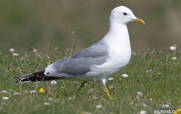 Чайка-птица-Описание-особенности-виды-и-среда-обитания-птицы-чайки-8