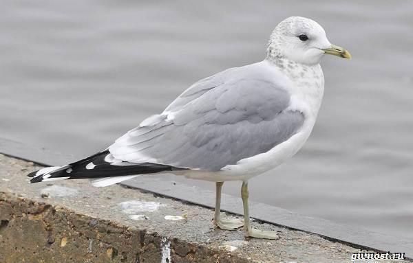 Чайка-птица-Описание-особенности-виды-и-среда-обитания-птицы-чайки-9