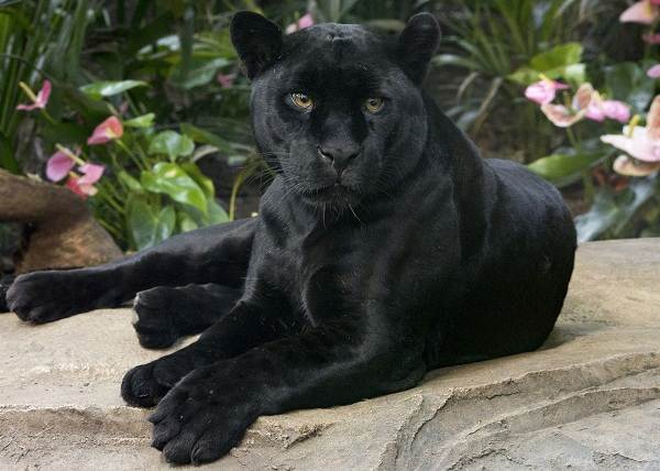 Чёрная-пантера-Описание-особенности-образ-жизни-и-среда-обитания-10