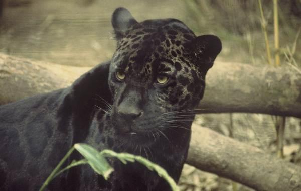 Чёрная-пантера-Описание-особенности-образ-жизни-и-среда-обитания-14