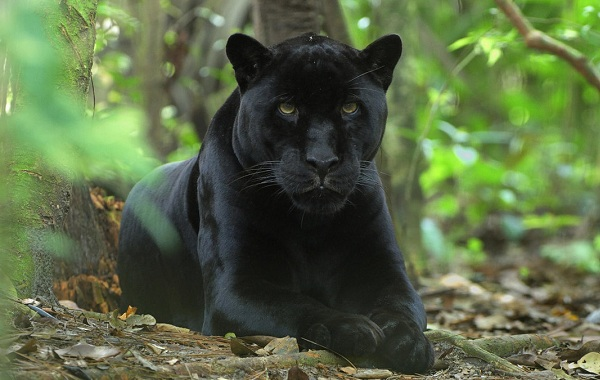 Чёрная-пантера-Описание-особенности-образ-жизни-и-среда-обитания-15
