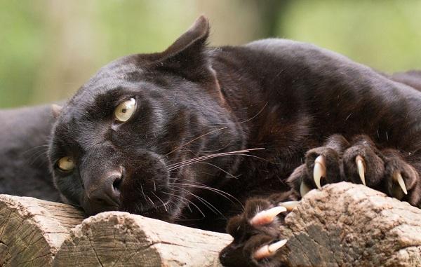 Чёрная-пантера-Описание-особенности-образ-жизни-и-среда-обитания-17