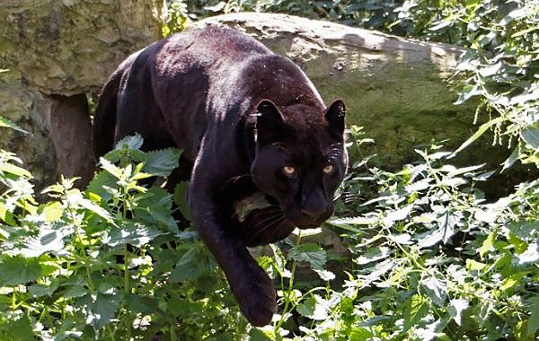 Чёрная-пантера-Описание-особенности-образ-жизни-и-среда-обитания-18