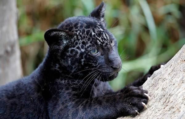 Чёрная-пантера-Описание-особенности-образ-жизни-и-среда-обитания-3