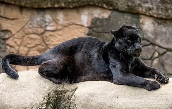 Чёрная-пантера-Описание-особенности-образ-жизни-и-среда-обитания-5