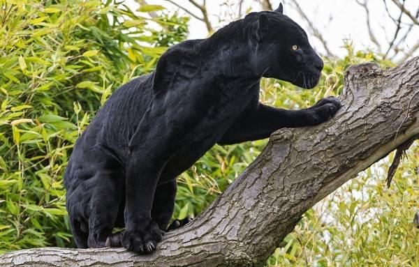Чёрная-пантера-Описание-особенности-образ-жизни-и-среда-обитания-6