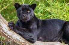 Чёрная пантера. Описание, особенности, образ жизни и среда обитания черной пантеры